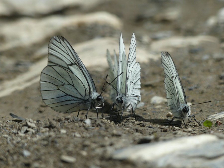 Group loving for Aporia Crataegi by Yves LE LAYO on 500px.com