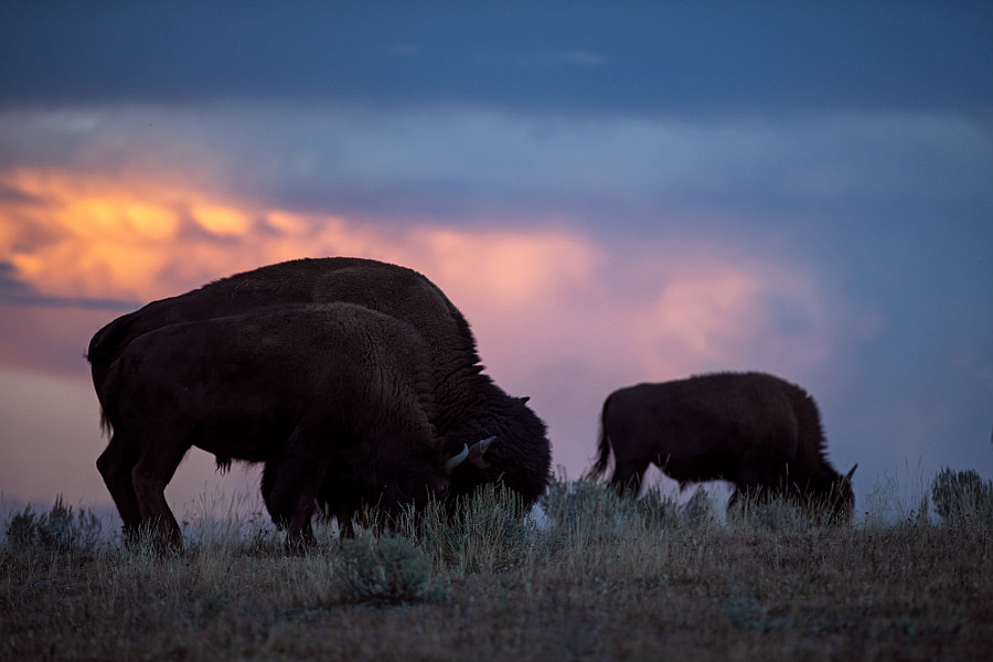 Bison and sunset by Jon Albert on 500px.com
