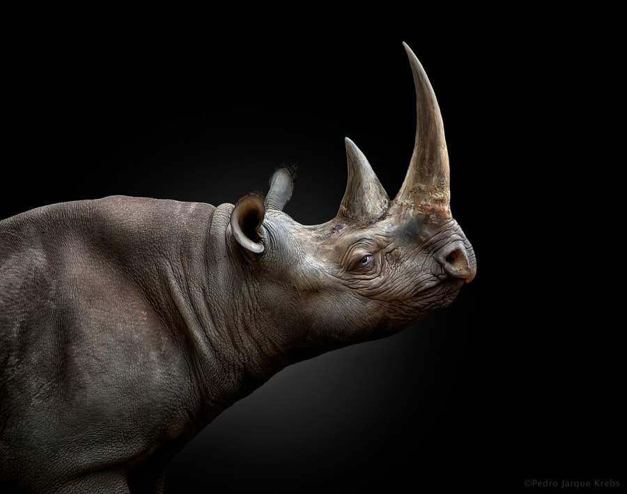 Black rhinoceros by Pedro Jarque Krebs on 500px.com