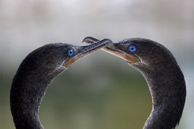 Cormorans duo . by Andre Villeneuve - 丨Vanechow Blog a No.1from shop.vanechow.com