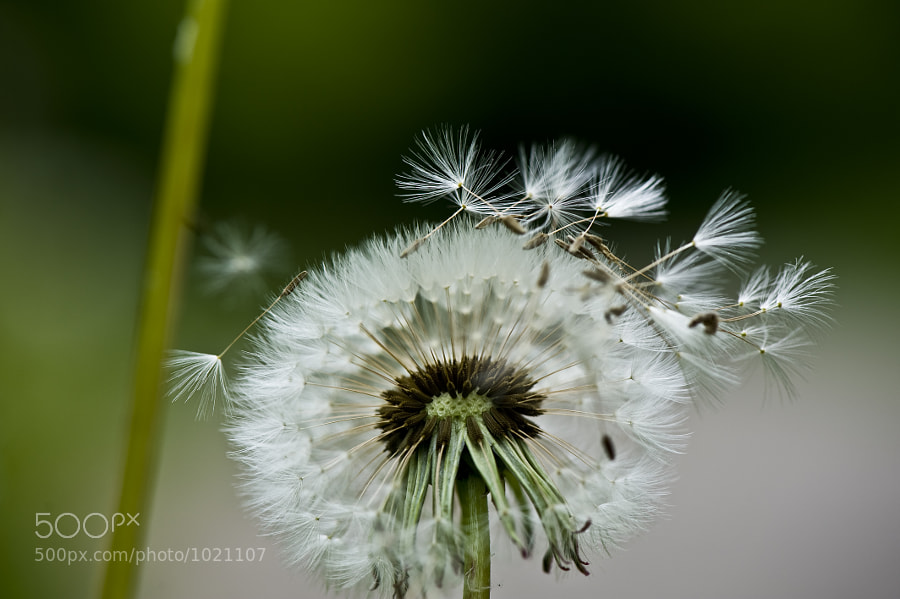 Close up of a dandelion sheding its offspring