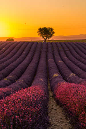 Lavender field, South of France by Serge Ramelli - 丨Vanechow Blog a No.1from shop.vanechow.com