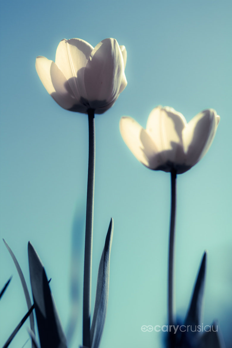 Photograph Tulips by Cary Crusiau on 500px