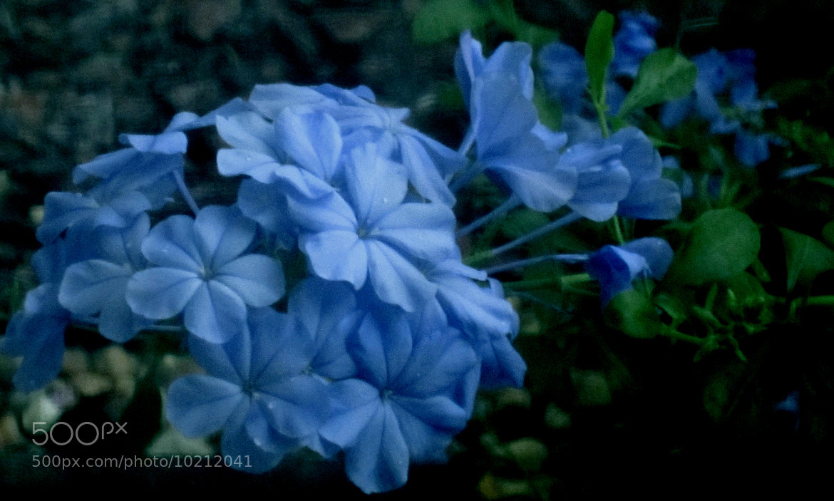 Photograph Blue Delicacy by Kimberly Taylor on 500px