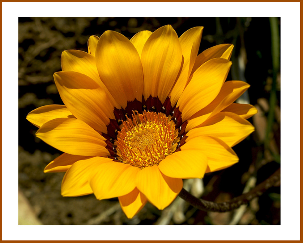 Photograph Sweet Daisey by Greg McLemore on 500px