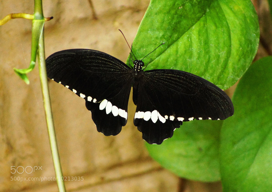 Photograph Butterfly Classically Elegant by Aric Jaye on 500px