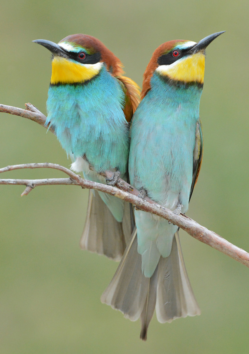 Photograph Bee-Eaters by Elmar Weiss on 500px