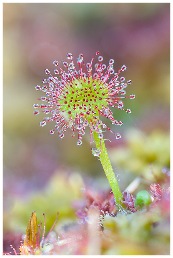 Photograph Drosera rotundifolia by Simon Benedičič on 500px