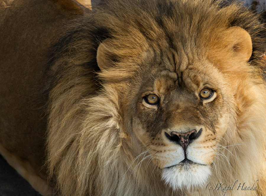 Lion  by Kapil Handa on 500px.com