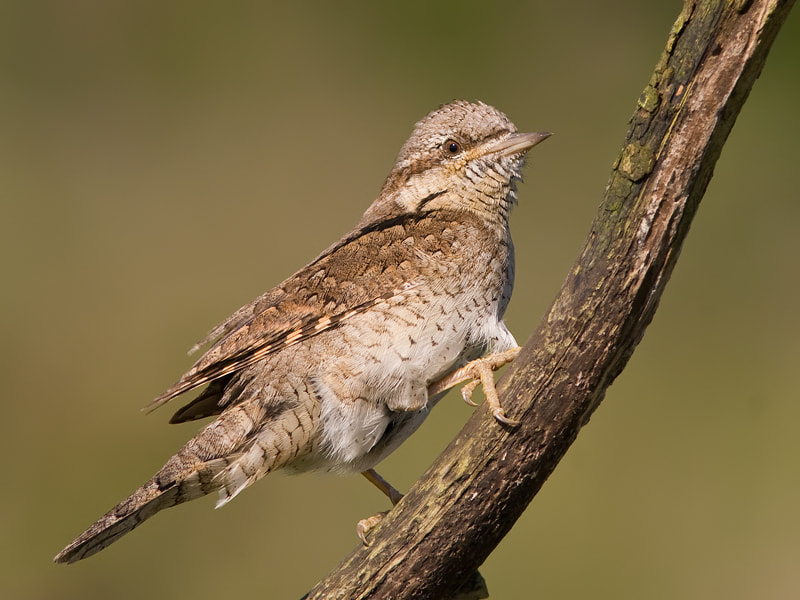 Photograph Wryneck by Jan Uilhoorn on 500px