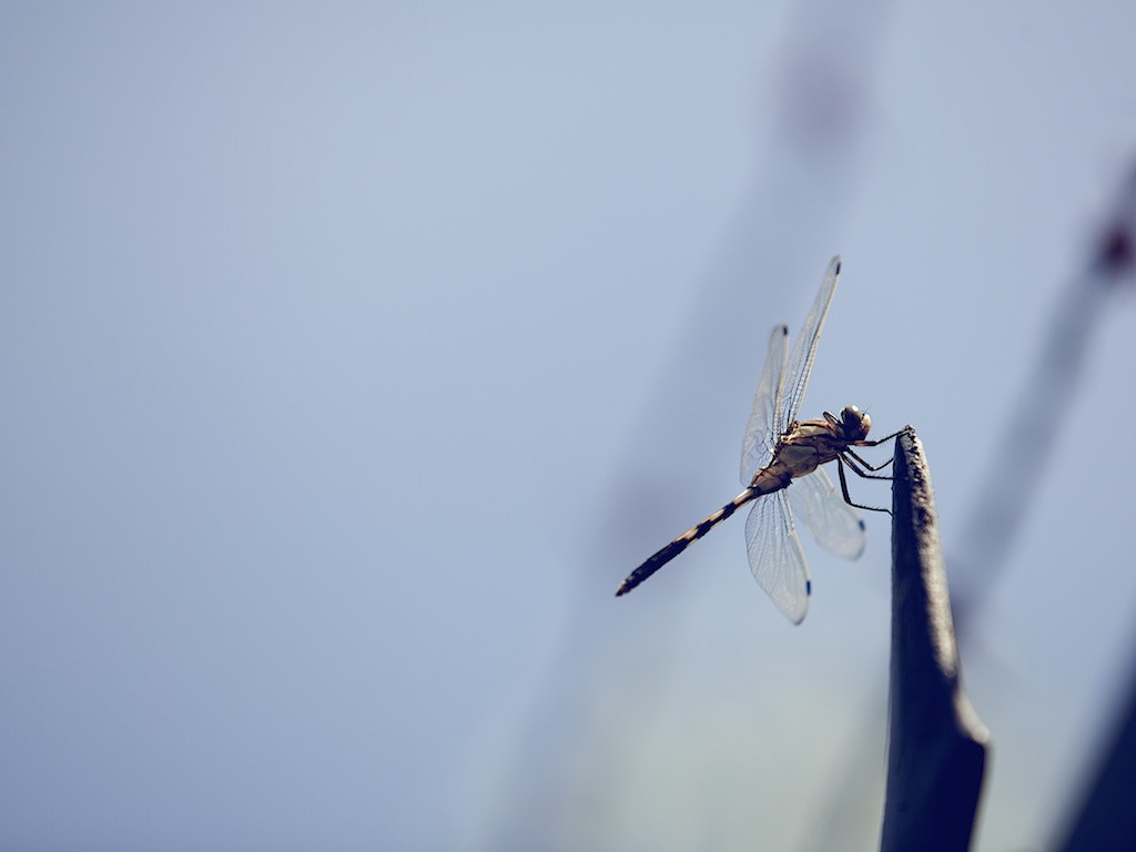 Photograph dragonfly by anakin sun on 500px