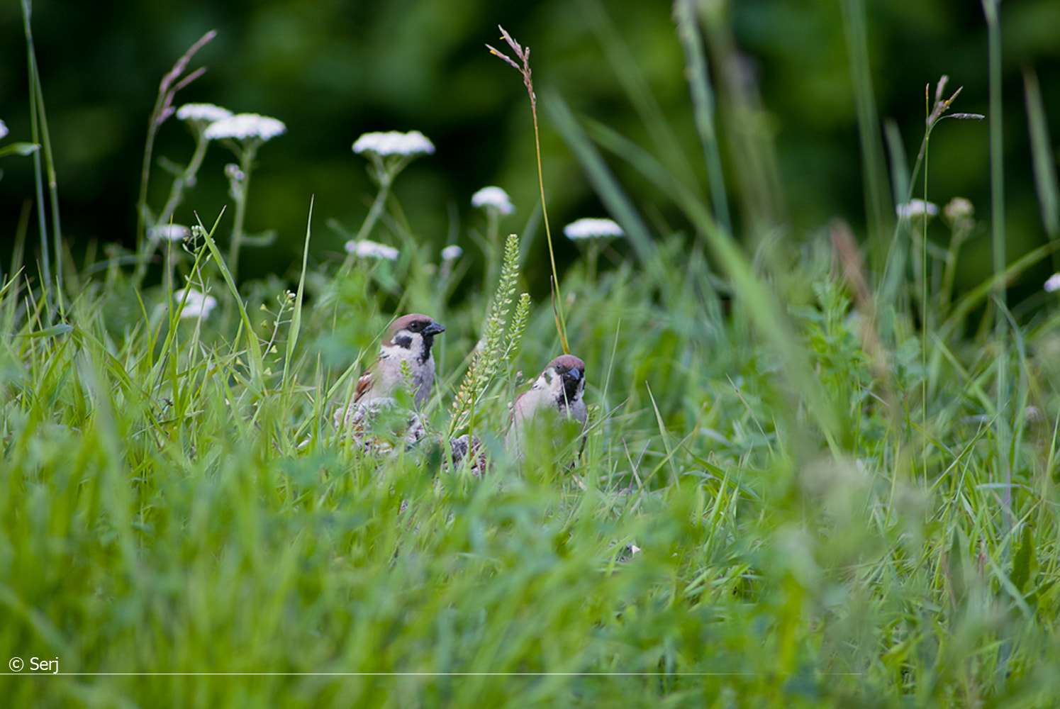 Photograph sparrows by Sergey Tikhomirov on 500px