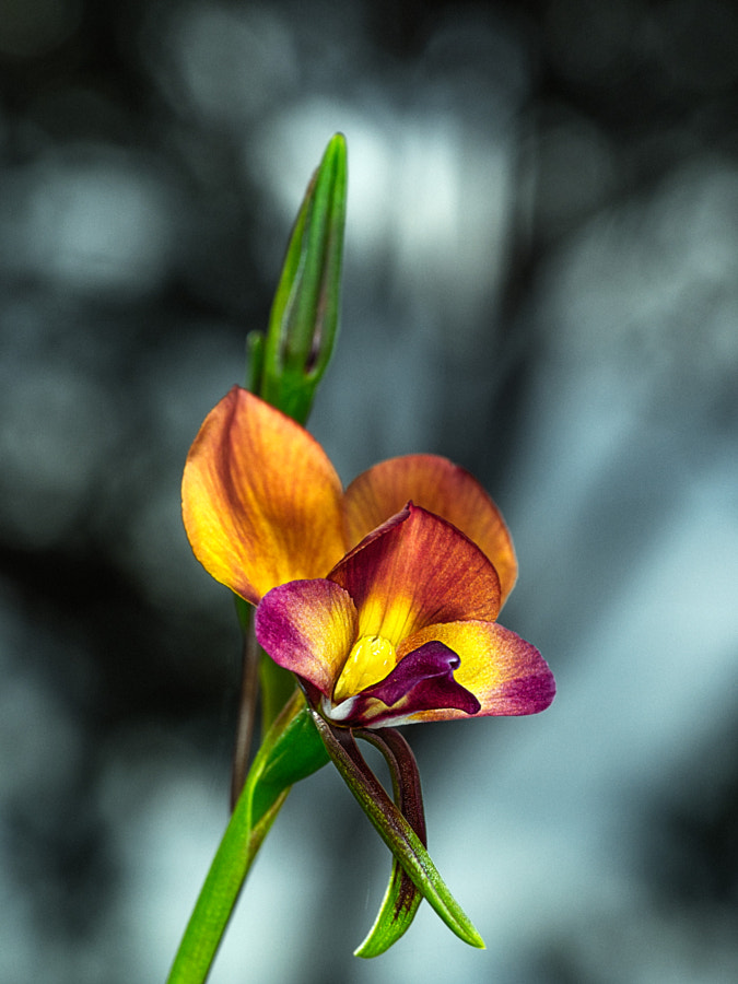 Darling Range Donkey Orchid by Paul Amyes on 500px.com