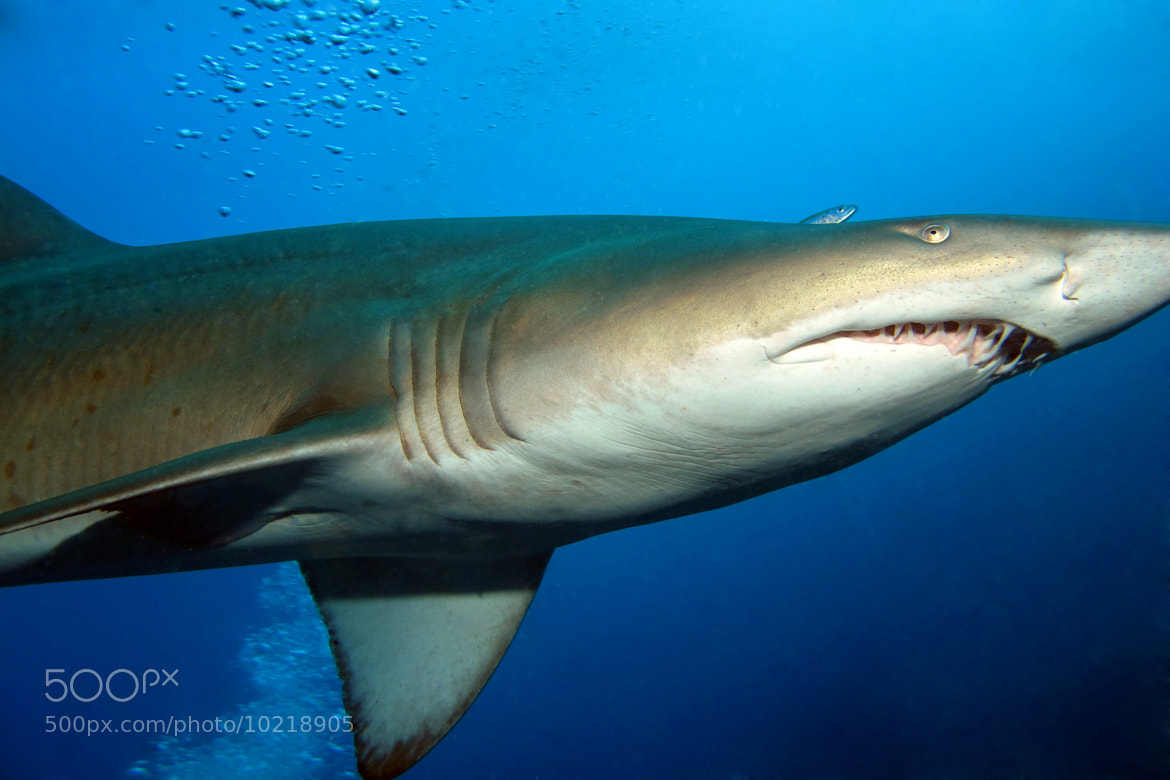 Photograph Grey Nurse Shark by Grant Brodie on 500px