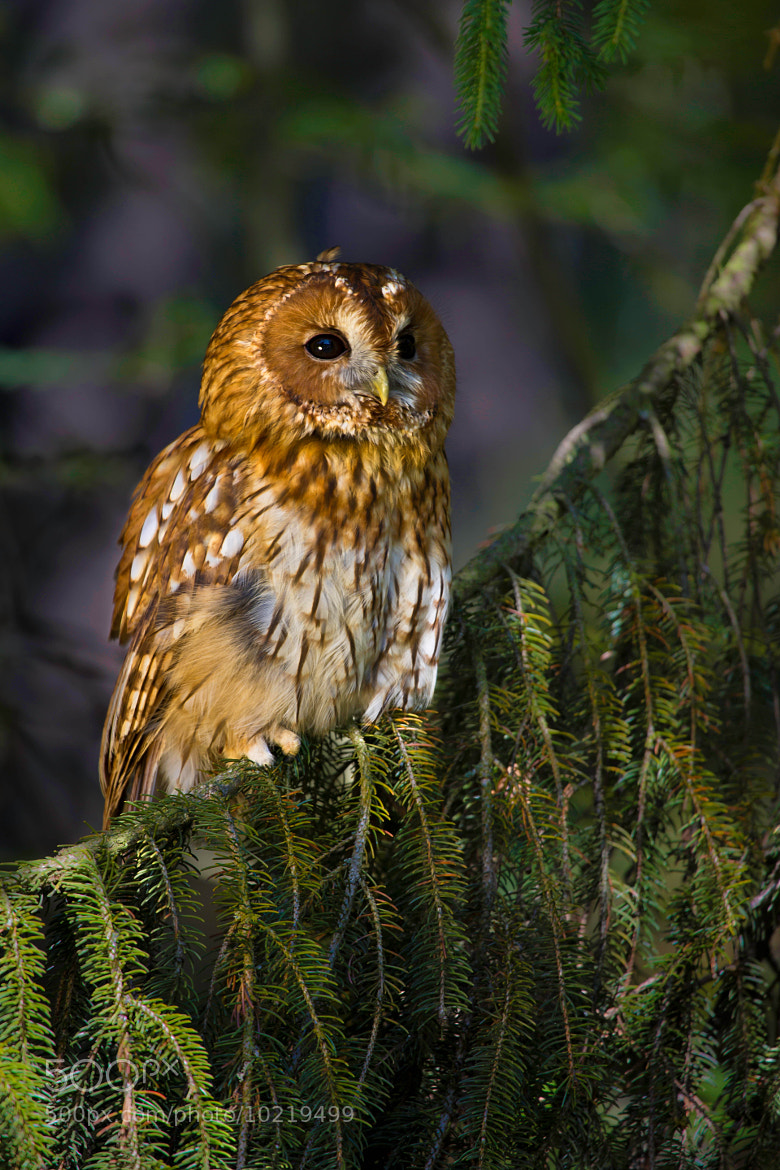 Photograph Tawny Owl by Milan Zygmunt on 500px