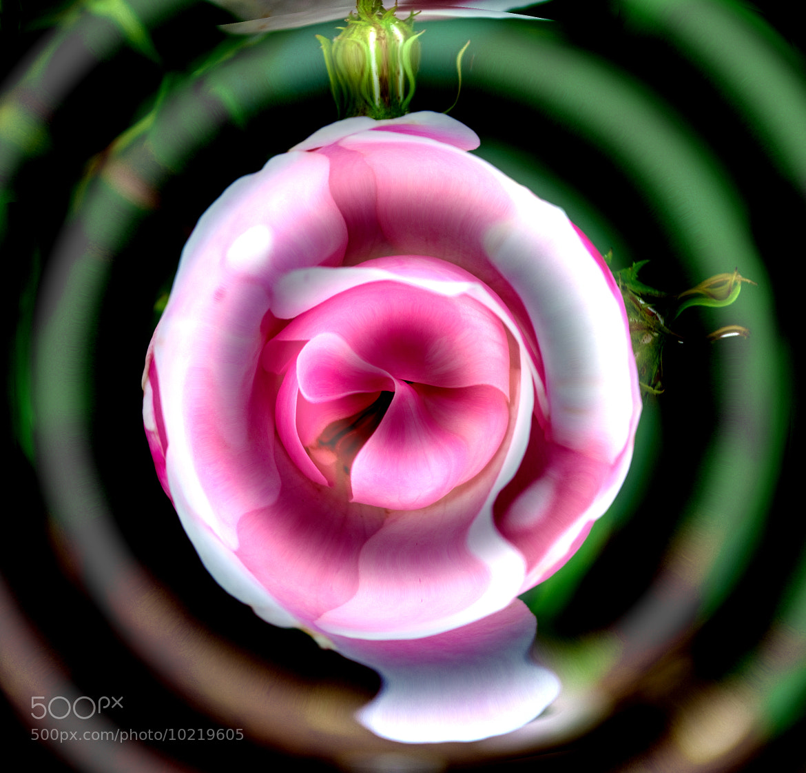 Photograph A Kiss From A Rose by Mark Luftig on 500px