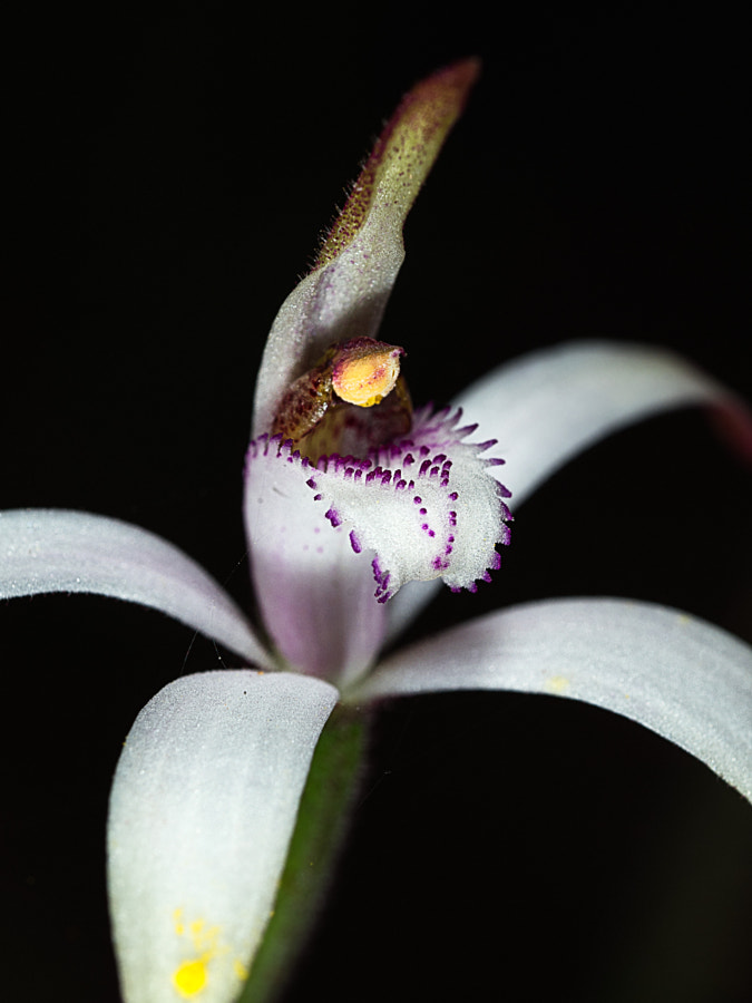 Candy Orchid by Paul Amyes on 500px.com