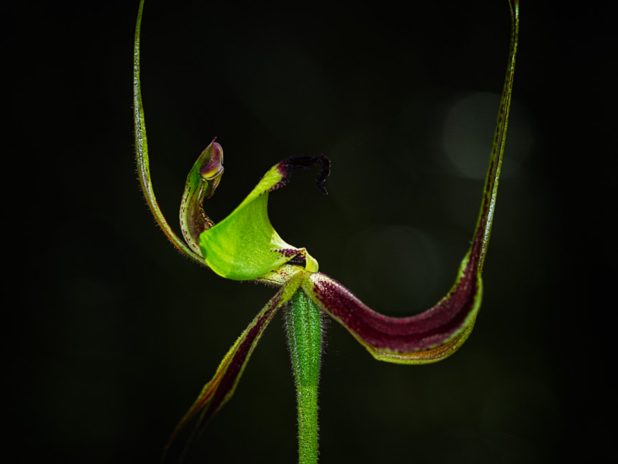Clown Orchid by Paul Amyes on 500px.com