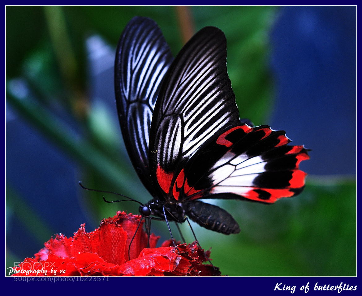 Photograph King of butterflies  by Ruth  Chudaska-Clemenz on 500px