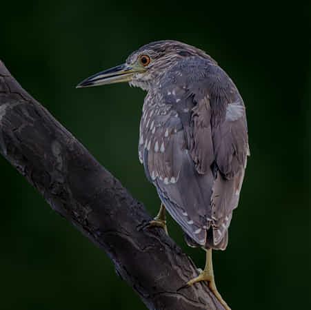 Night heron by Boris Lichtman