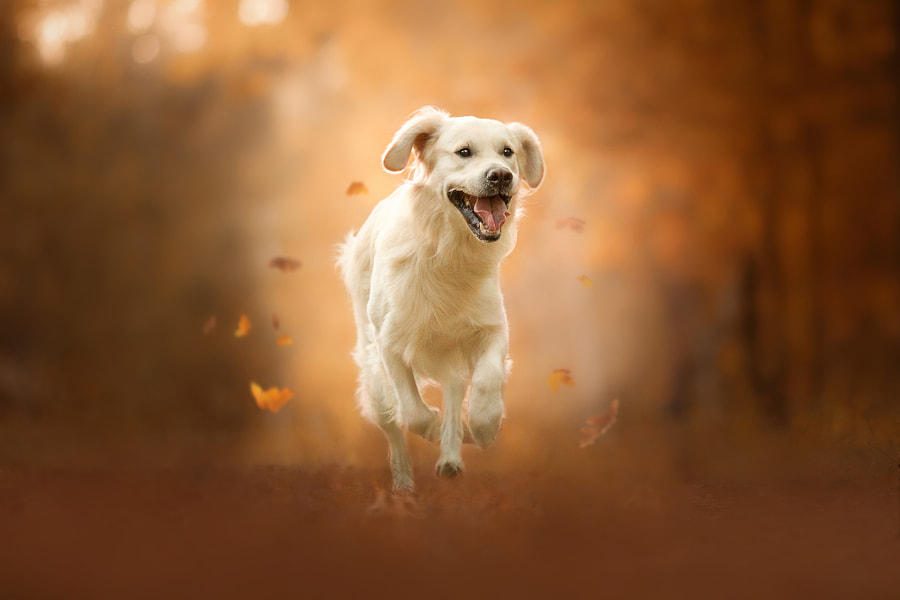 Golden retriever running in autumn forest by sophie kozlova on 500px.com