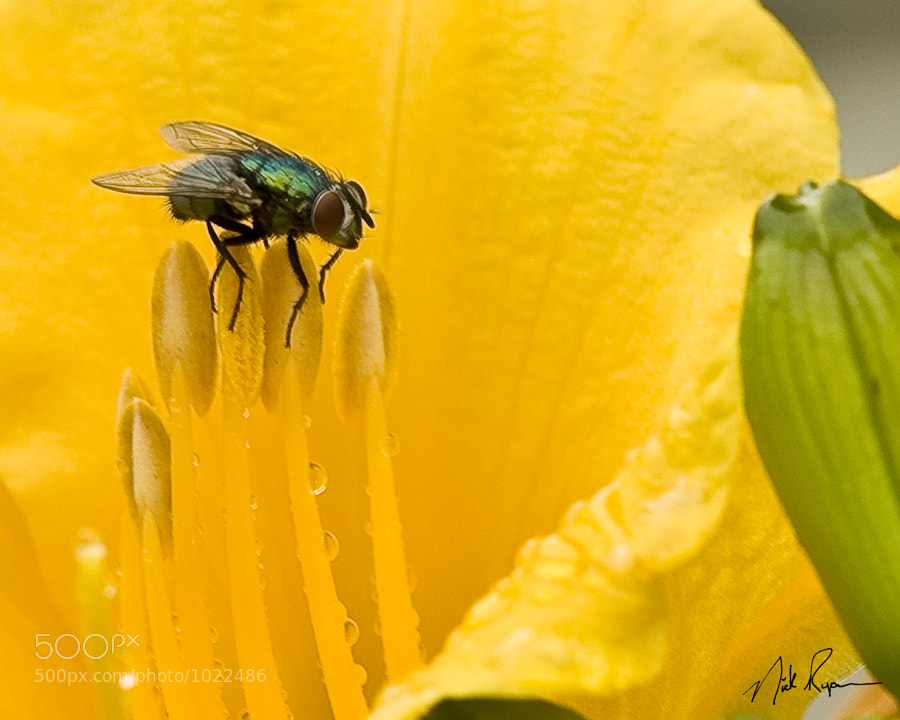Common house fly on the stamen of a day lilly flower after a rainfall