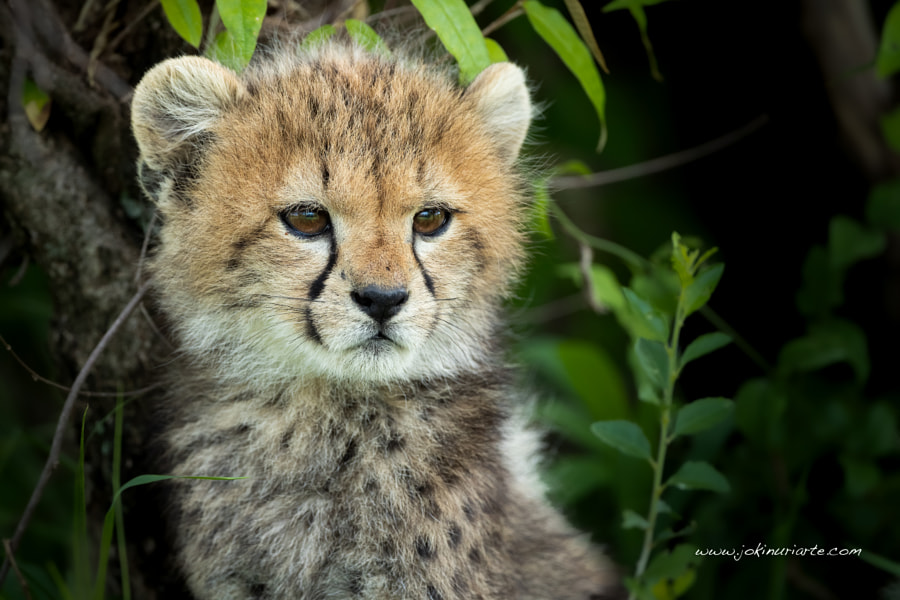 Cheetah cub by J Uriarte on 500px.com