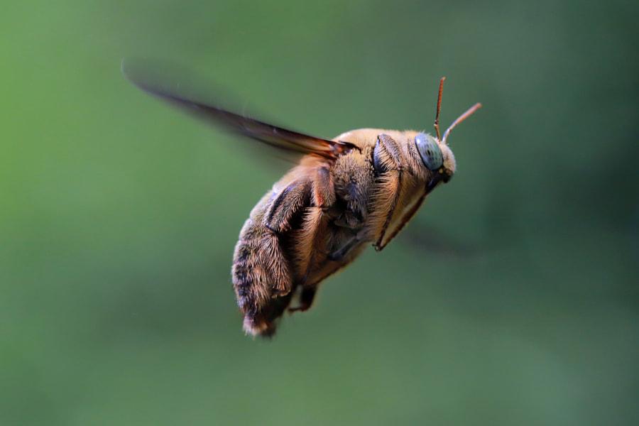 Flying Bee by Andi Welianto Gunawan on 500px.com