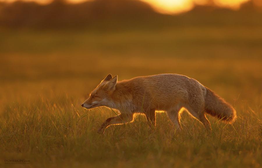 Red Fox at Sunset by Dalia Kvedaraite on 500px.com