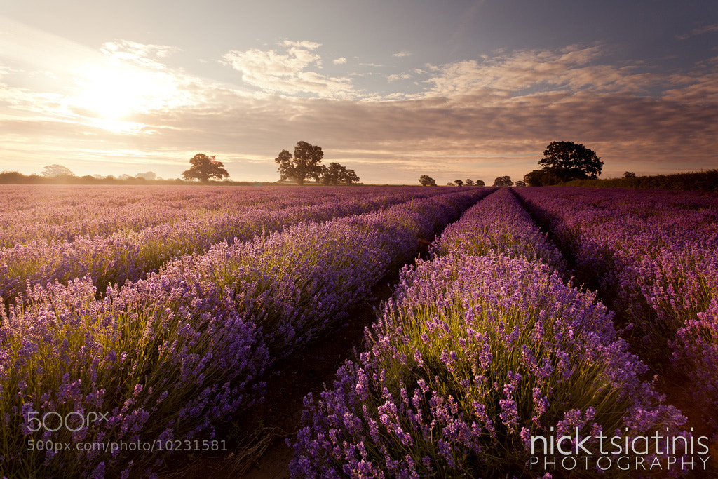 Photograph Somerset Lavender Sunrise by Nick Tsiatinis on 500px