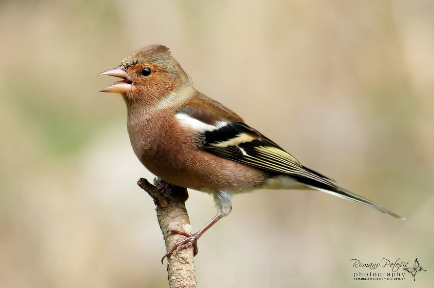 Photograph Chaffinch by Romano Petesic on 500px