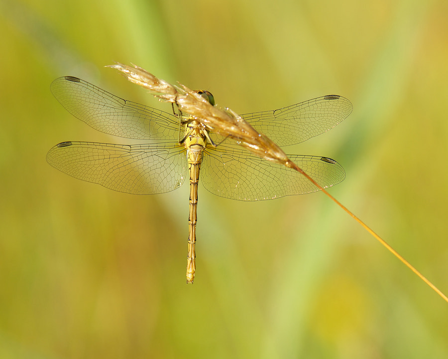 Photograph Vagrant Darter at a straw by Erik Veldkamp on 500px