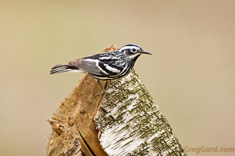Photograph Black and White Warbler by Greg Gard on 500px
