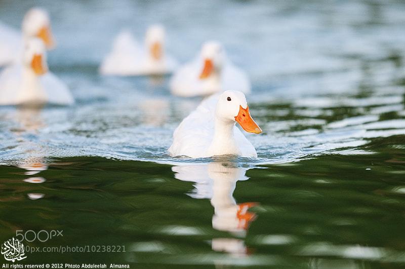 Photograph Duck ^^ by Abduleelah Al-manea on 500px