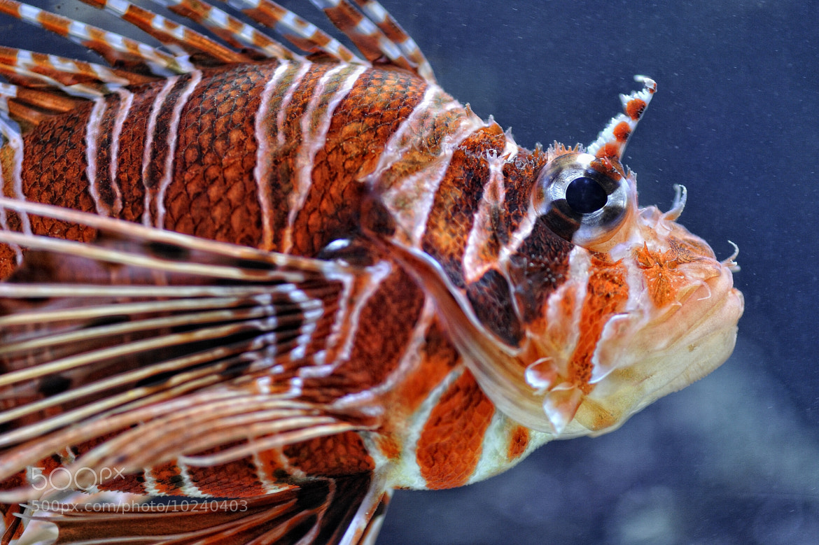 Photograph Pterois by Josef Gelernter on 500px