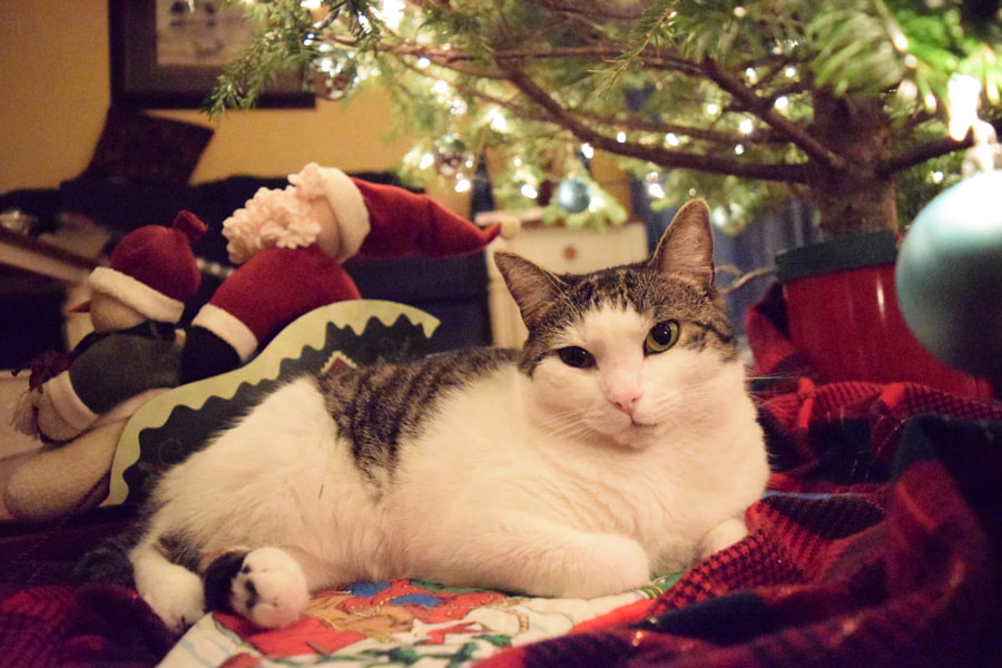 500px.comのBrianna BrownさんによるCat Under Christmas Tree