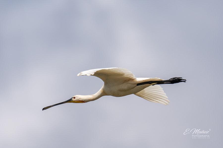 common spoonbill in flight by Eduardo Muñoz on 500px.com