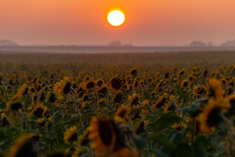 Autumn sunflowers by Matt Maciej on 500px.com