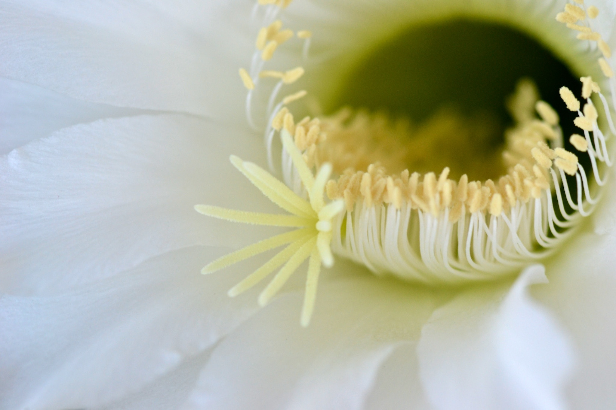 Photograph Cactus Flower 2 by Cristian Statescu on 500px