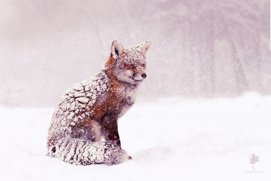 Red Fox in the Snow by Roeselien Raimond on 500px.com
