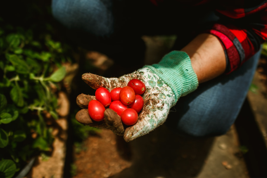 woman harvesting tomatoes in her vegetable garden by Helena Lopes on 500px.com