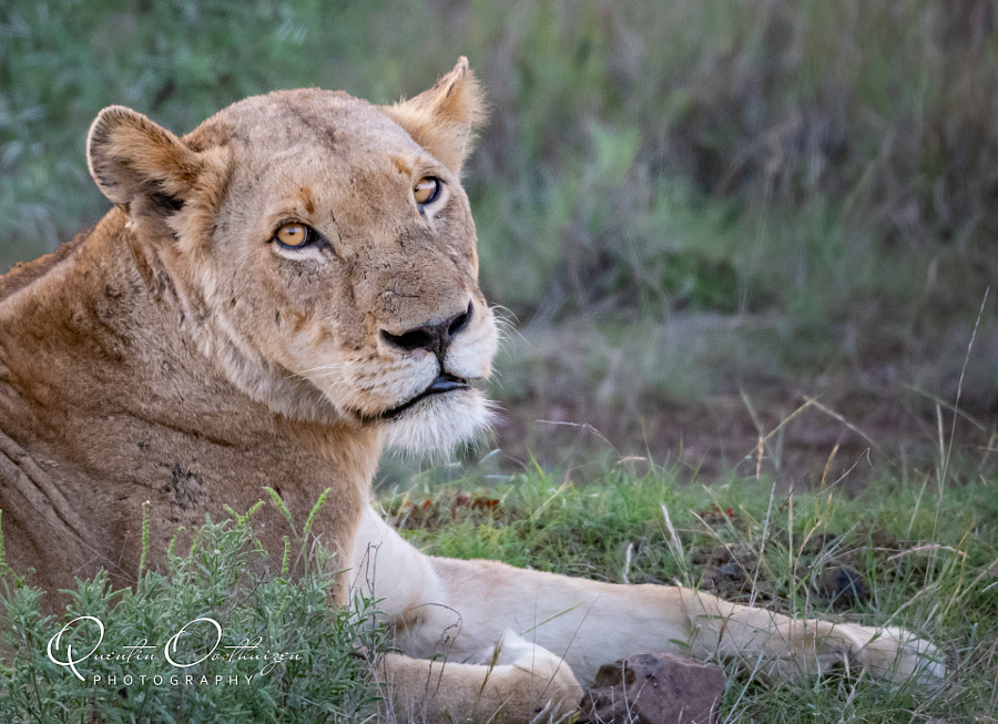 African Lioness by Quentin Oosthuizen on 500px.com