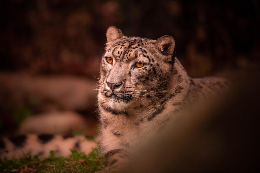 Snow Leopard by John S on 500px.com