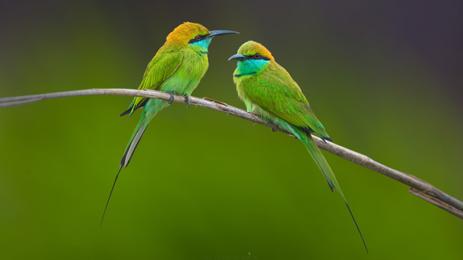 Bee Eaters Of Maitry ! by Sunil  on 500px.com