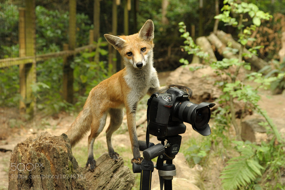 Photograph Fox cub photographer by Solent on 500px