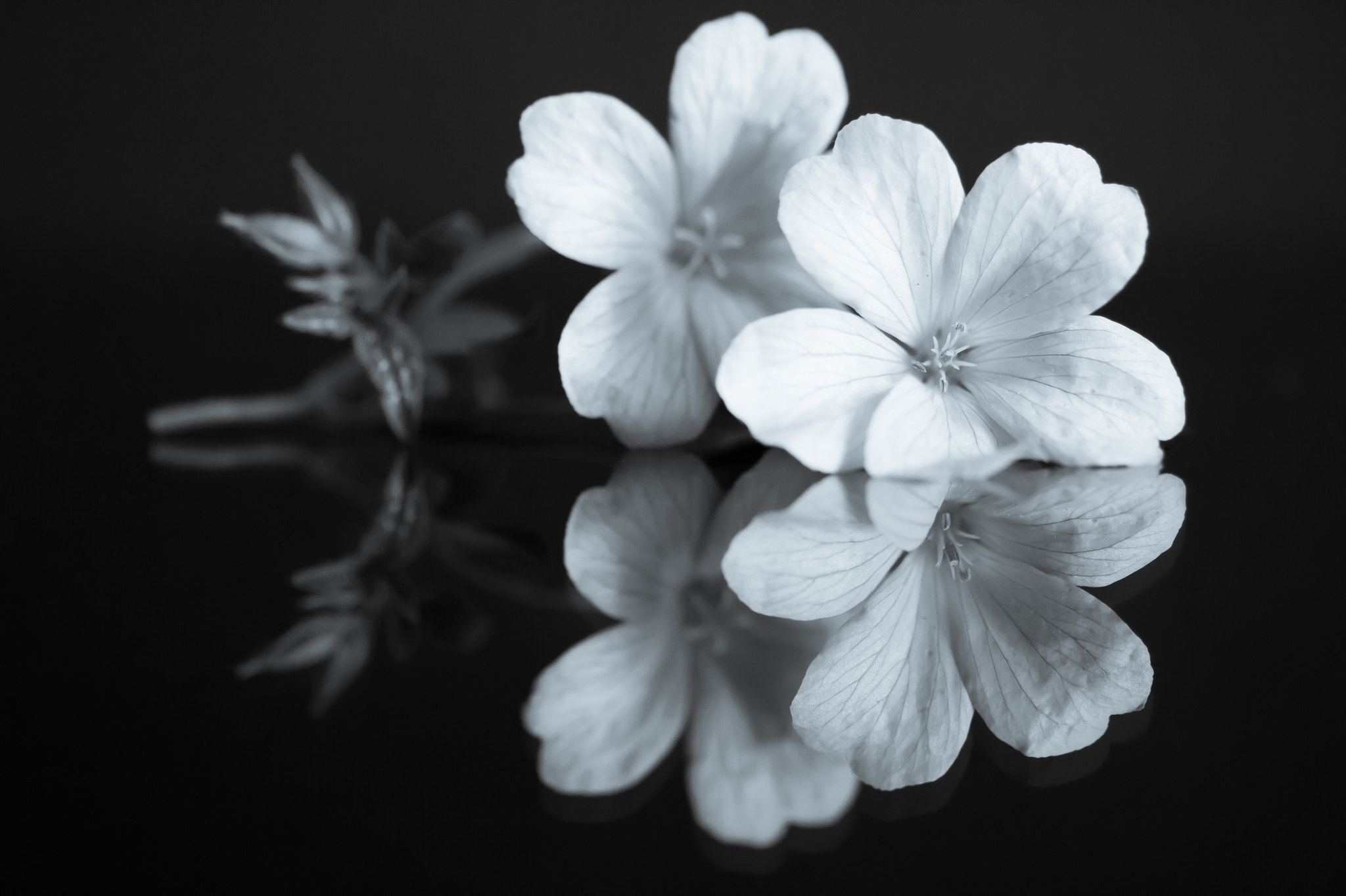 Photograph Black & White Flower Reflections by Kevin Roberts on 500px