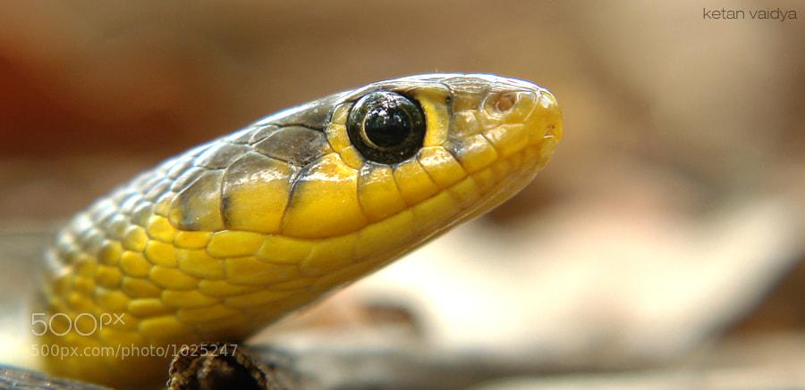 Photograph snake by ketan vaidya on 500px