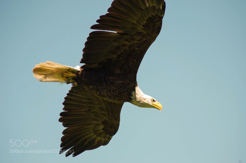 Photograph American Bald eagle by julian john on 500px