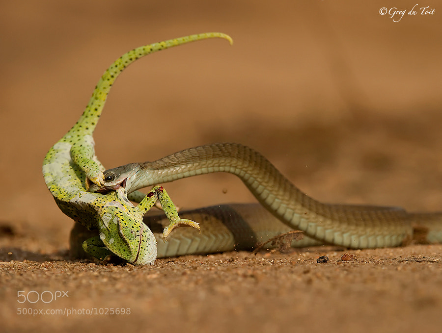 Photograph Boomslang Catch by greg du toit on 500px