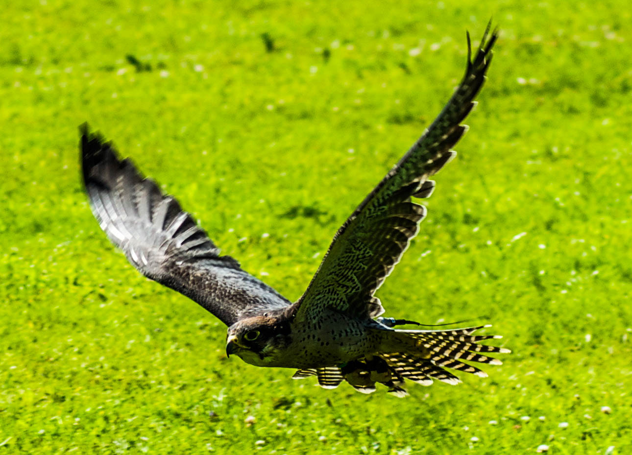 Photograph Lanner Falcon in flight by julian john on 500px
